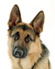 220px-Buck_The_GSD